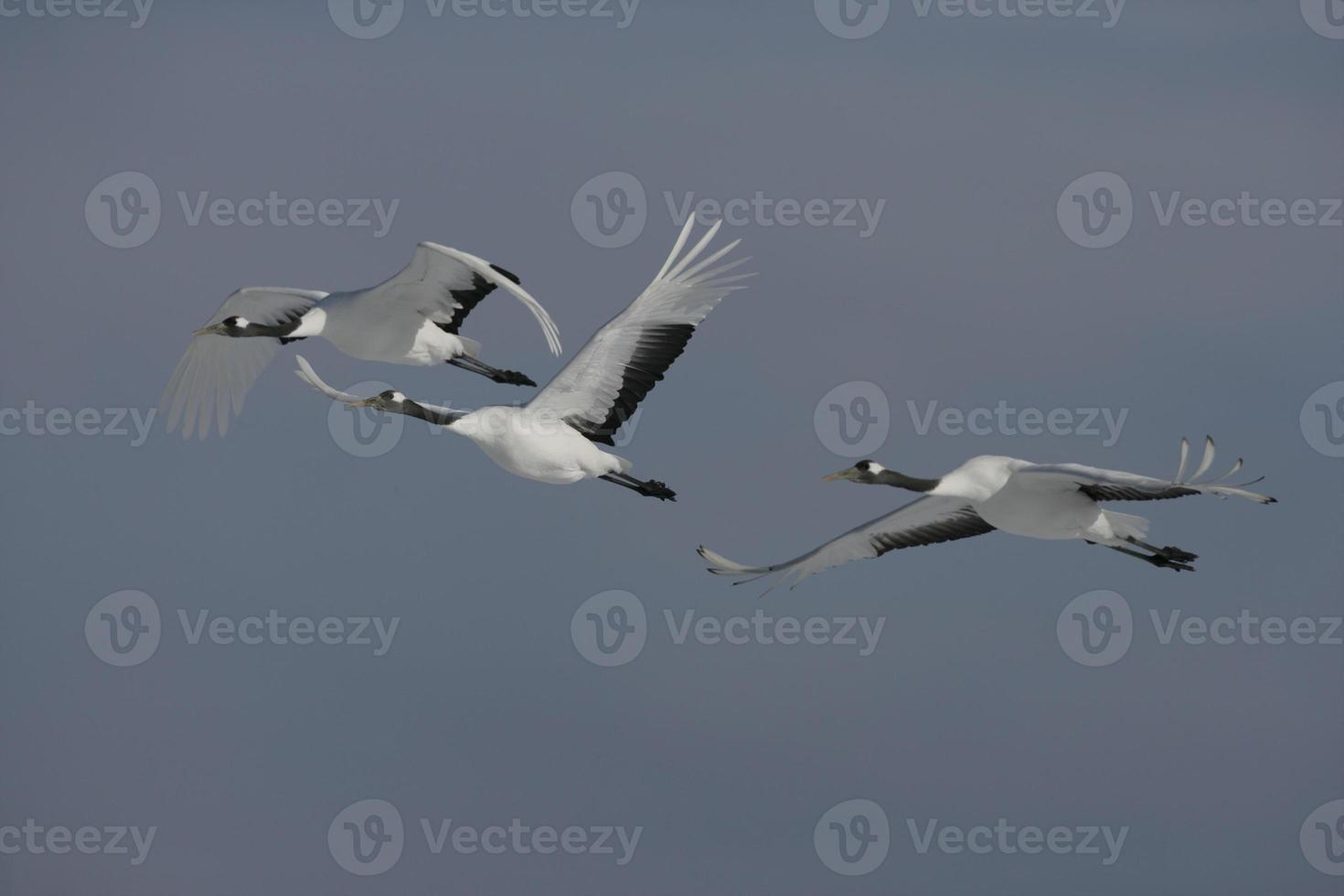 Red-crowned or Japanese crane, Grus japonensis, photo