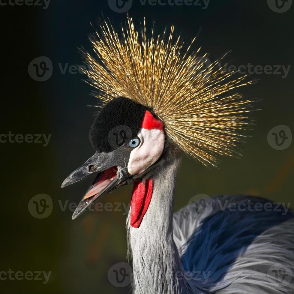 African Crowned Crane with open mouth photo