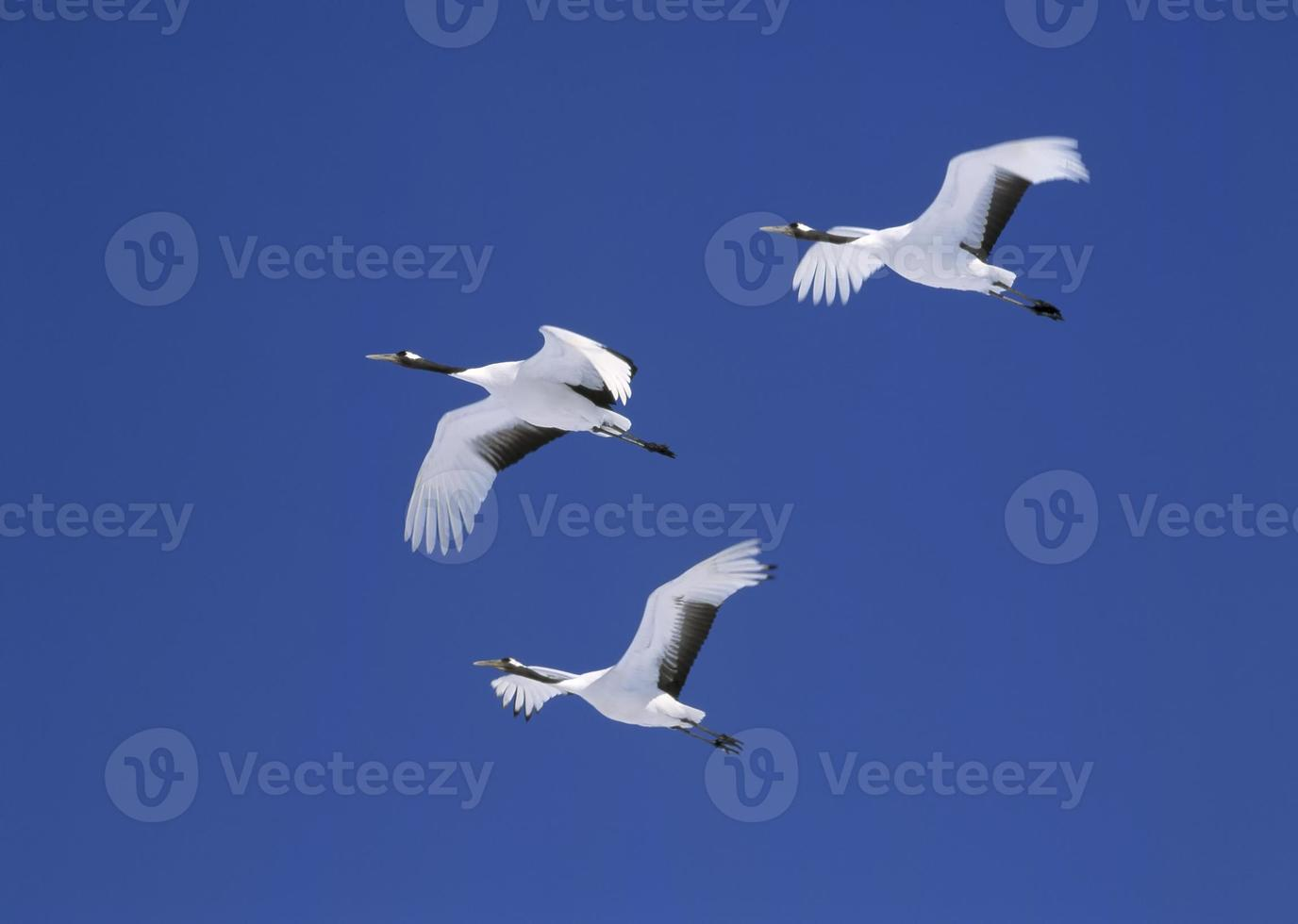 Flying red-crowned crane family in Hokkaido Japan. photo