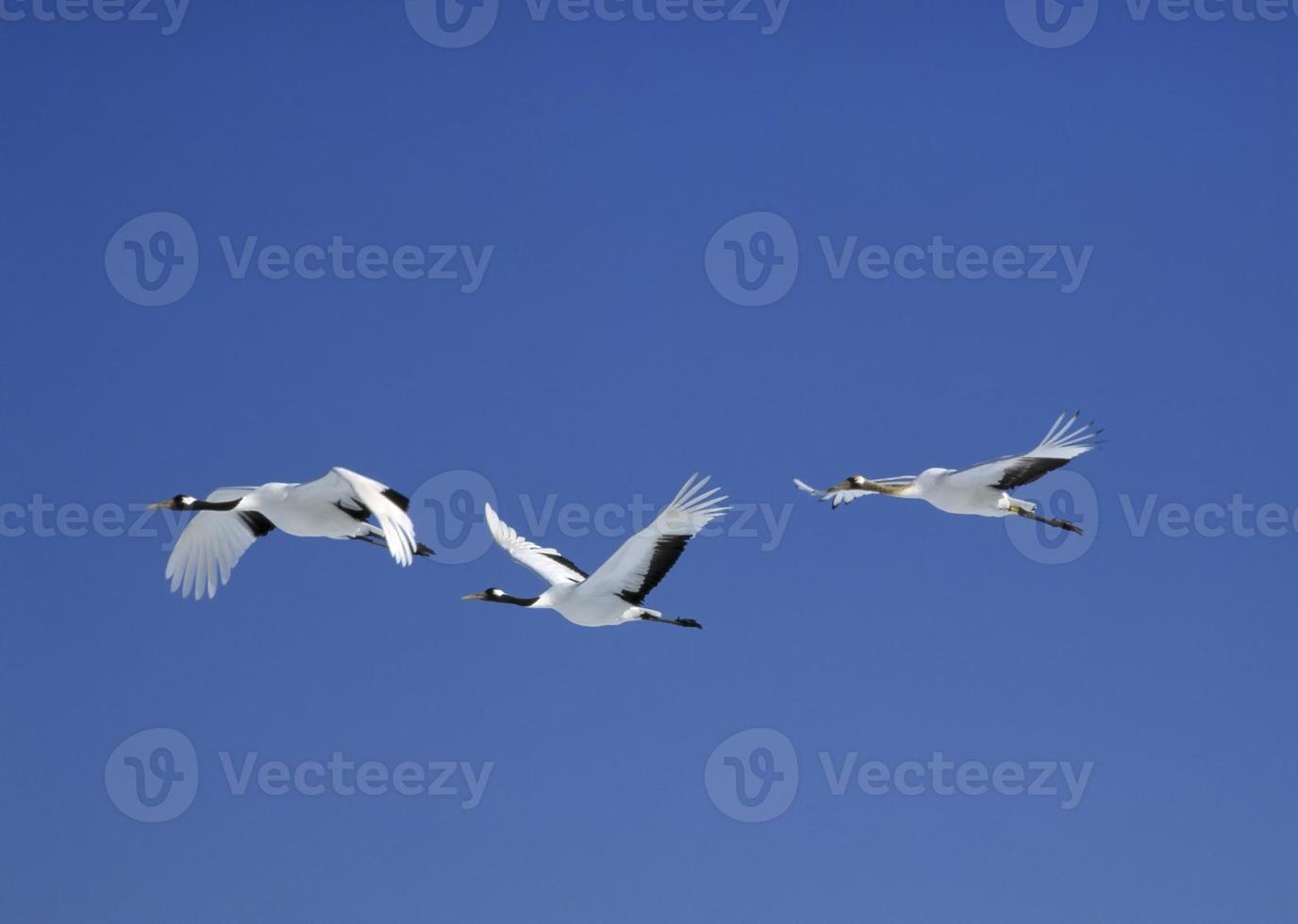 Flying red-crowned crane in Hokkaido Japan. photo