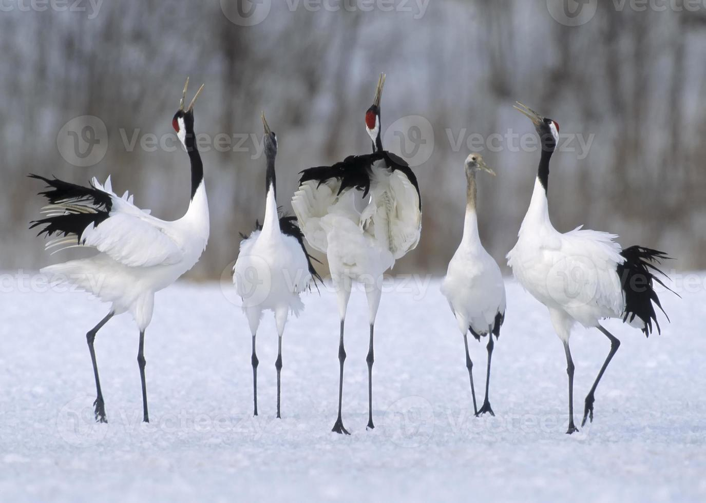 Japanese cranes singing in Hokkaido Japan. photo