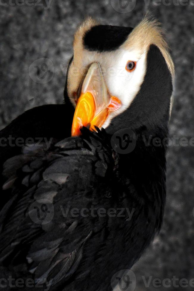 Tufted Puffin Portrait photo
