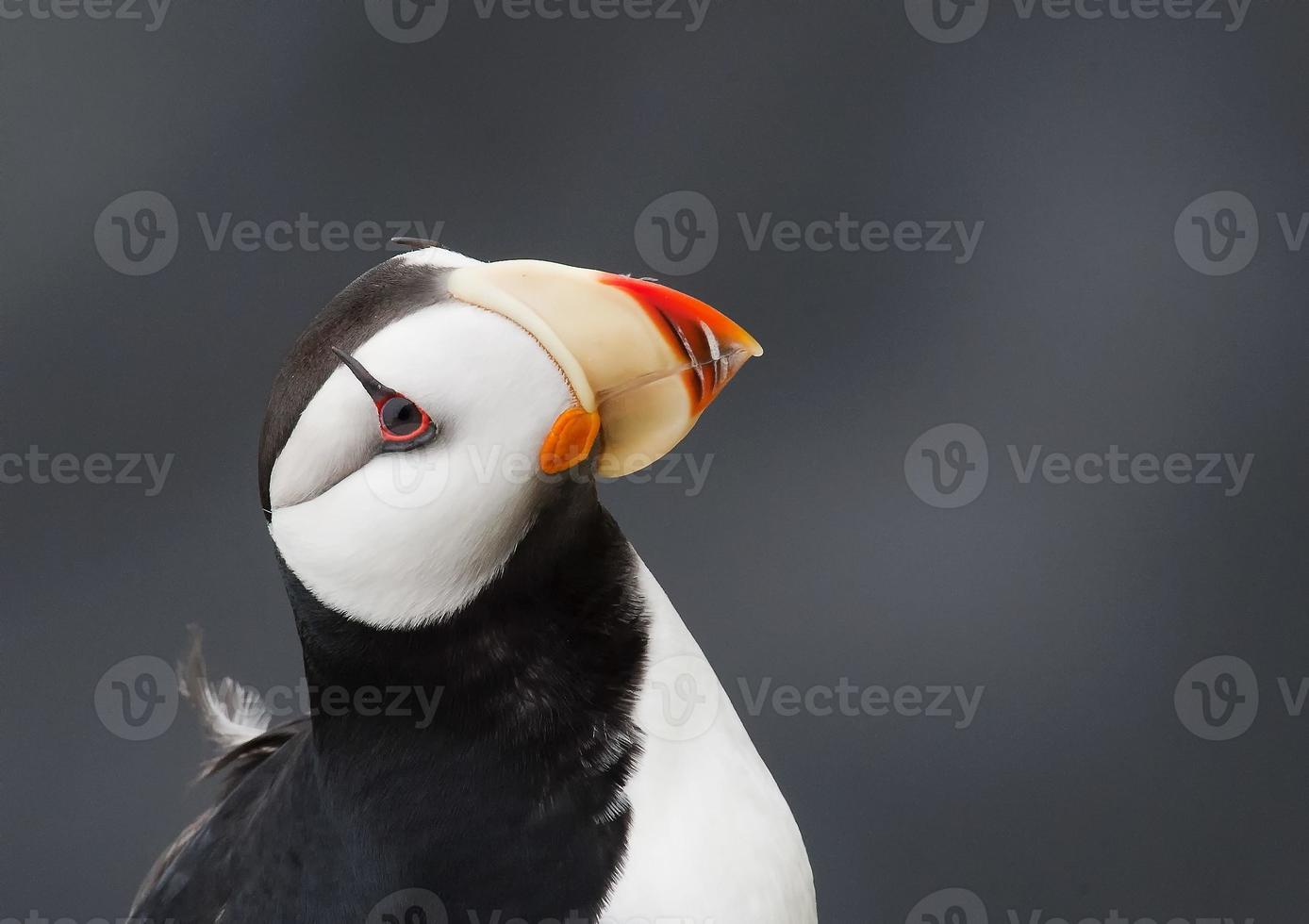 horned puffin posing photo