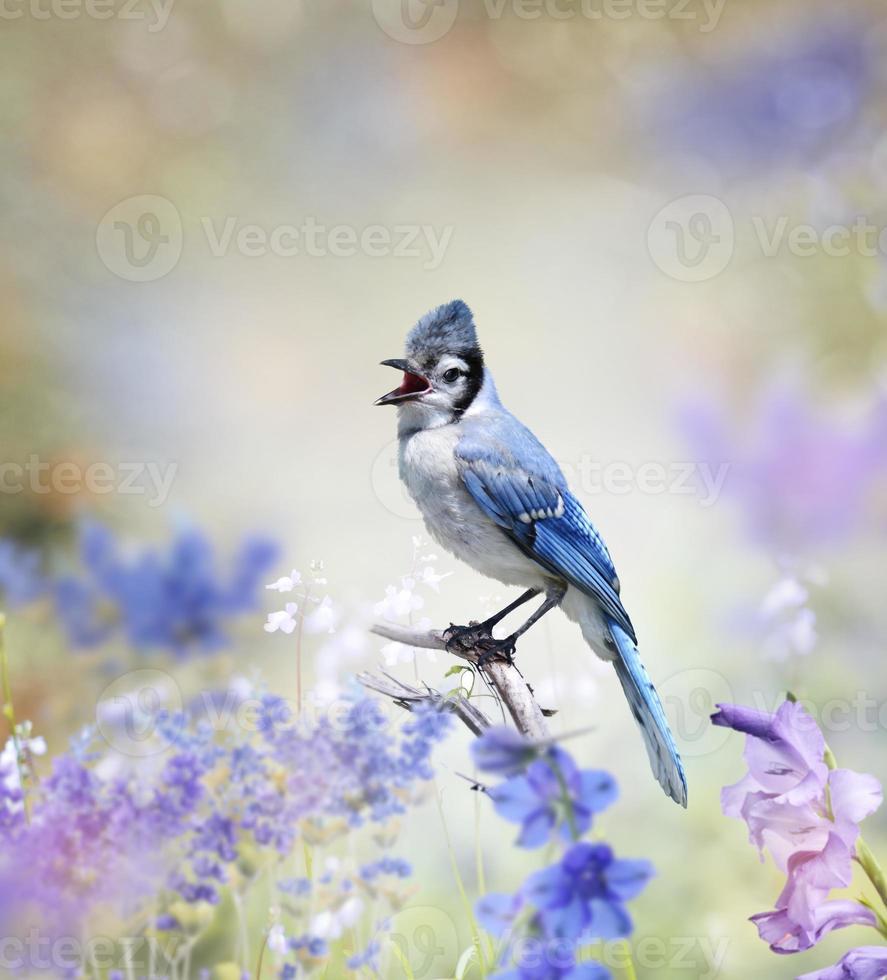 Blue Jay In The Garden photo