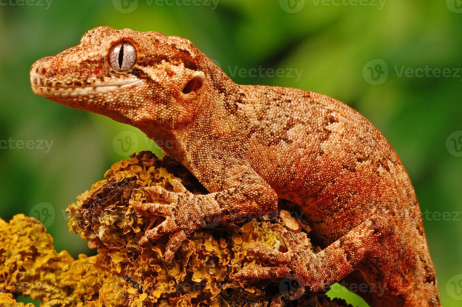 Gargoyle gecko photo