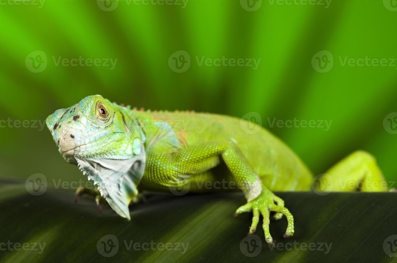 iguana en estado salvaje foto