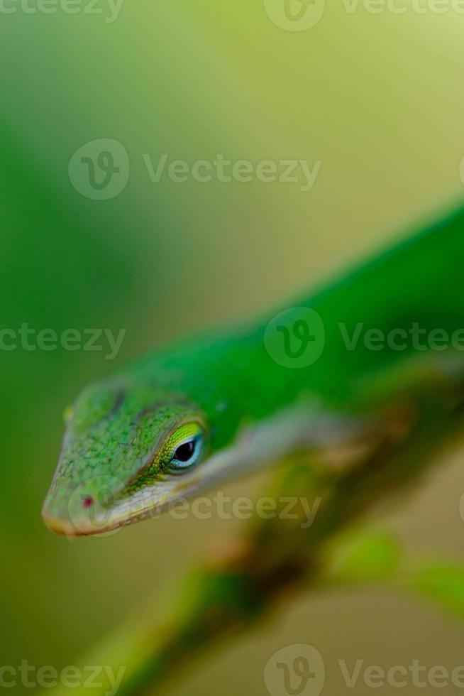 Gecko verde en una rama foto