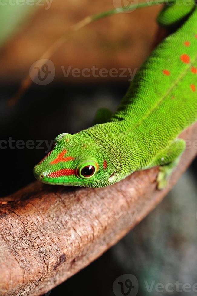 gecko del día de Madagascar foto