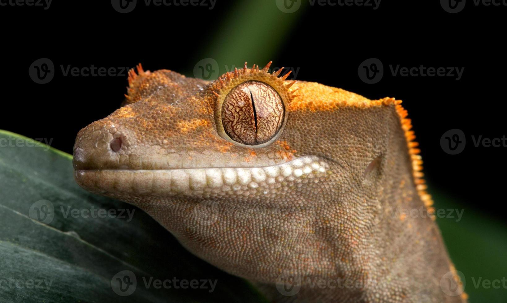 style gecko à crête photo