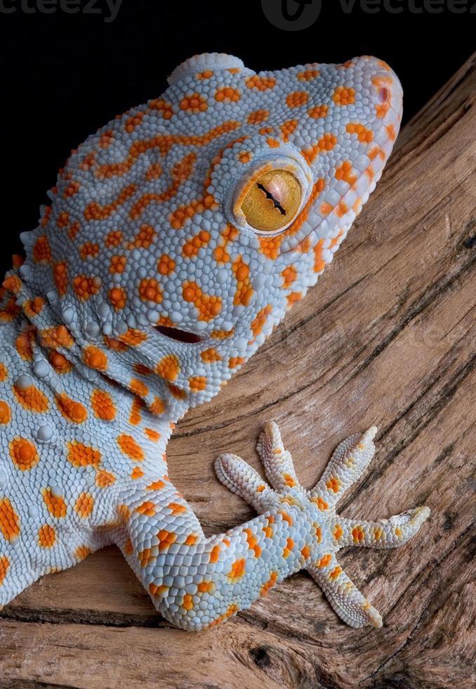 Tokay gecko on wood photo