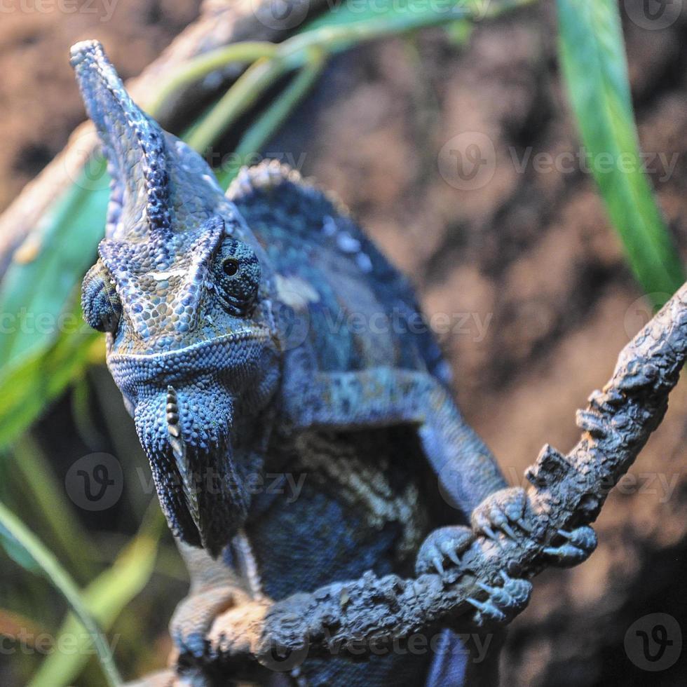 Solo camaleón en una rama, cerrar foto
