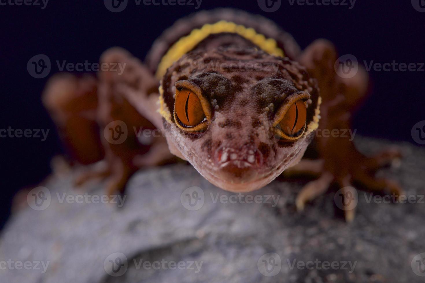 hainan cueva gecko / goniurosaurus hainensis foto