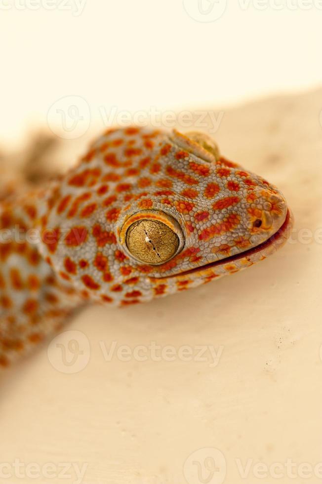 Large orange and blue gecko photo