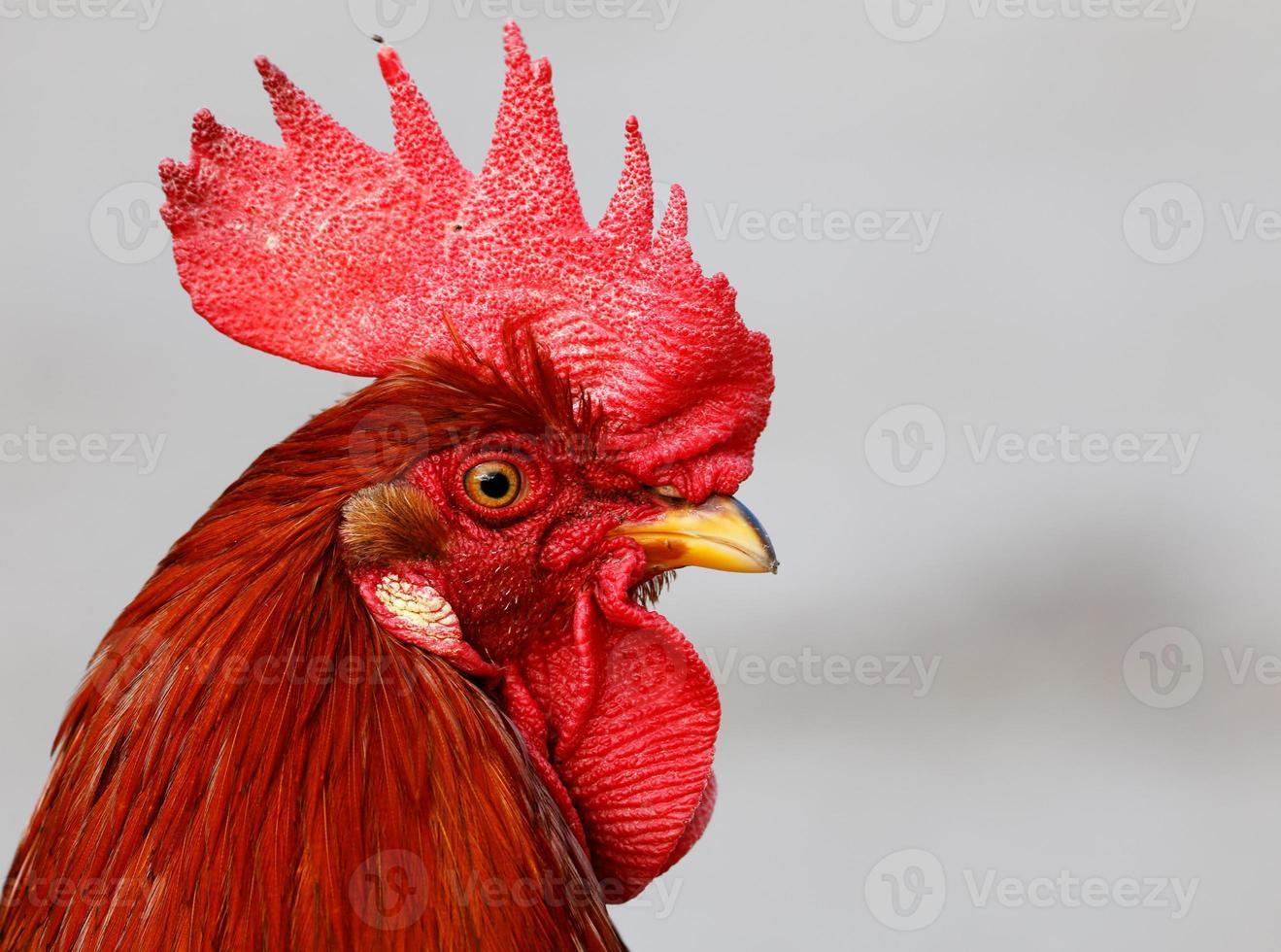 gallo foto