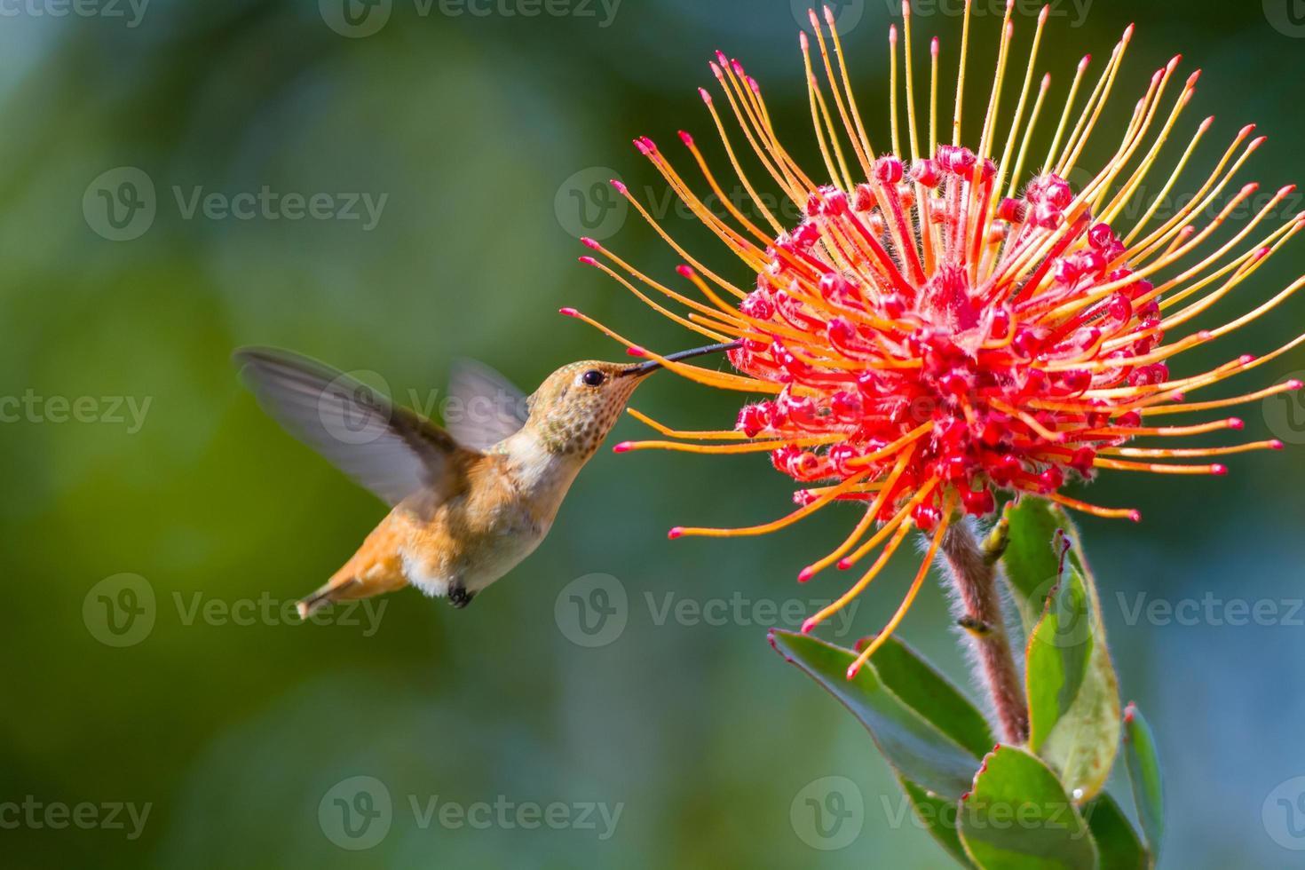 Humming bird photo