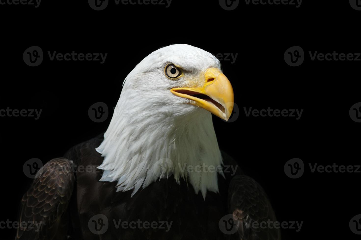 hermosa águila calva xxxl foto