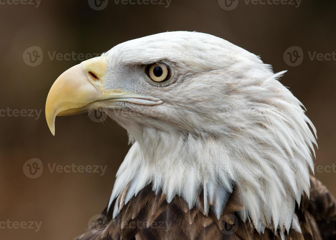 perfil de águila calva foto