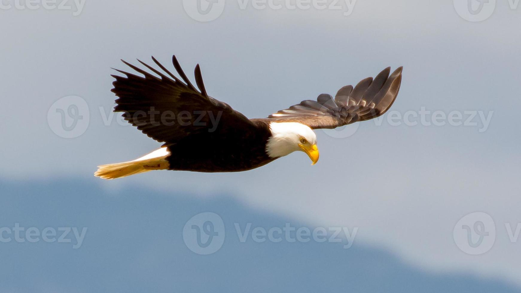 Bald Eagle in Flight photo
