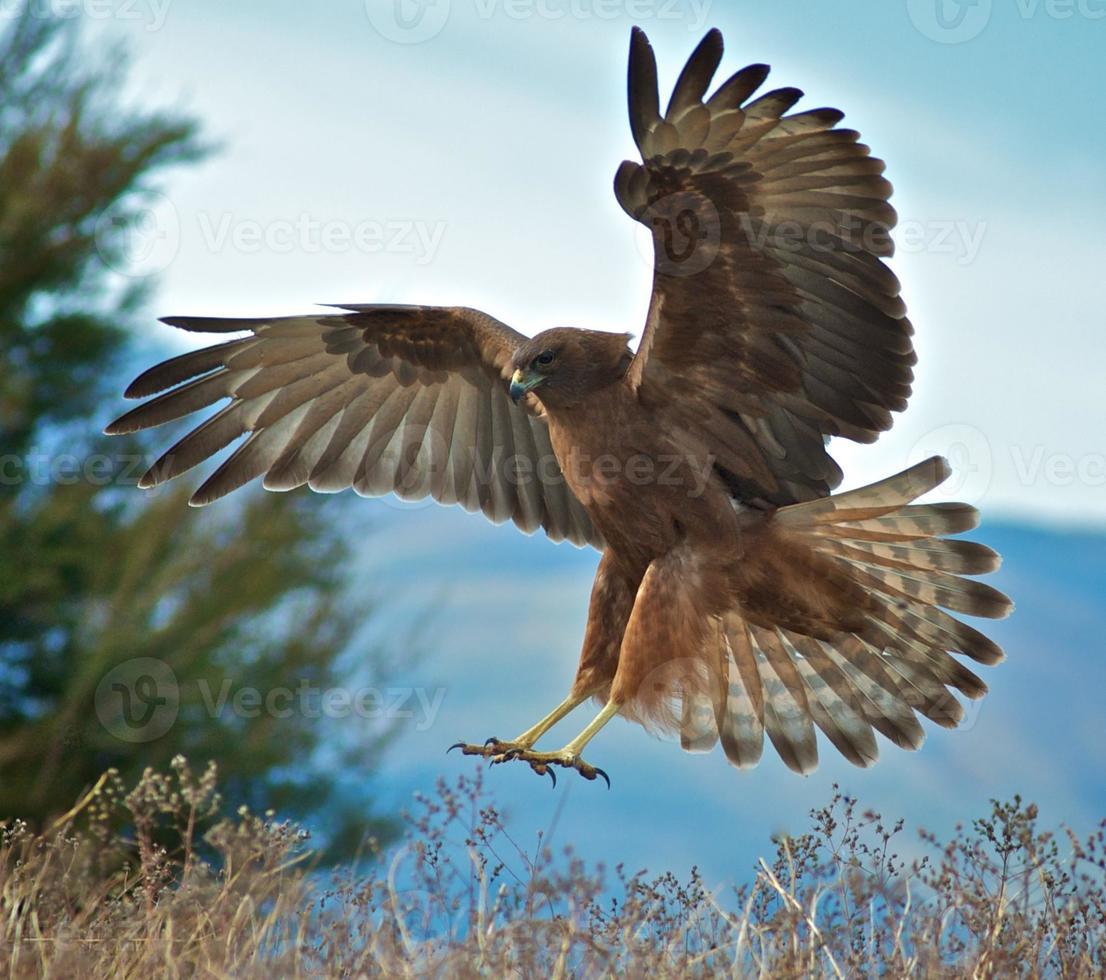 halcón de aterrizaje foto