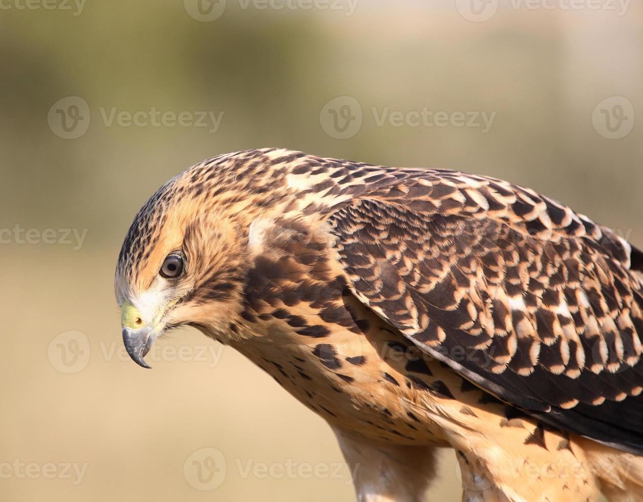 Cerca de un joven halcón en la pintoresca Saskatchewan foto