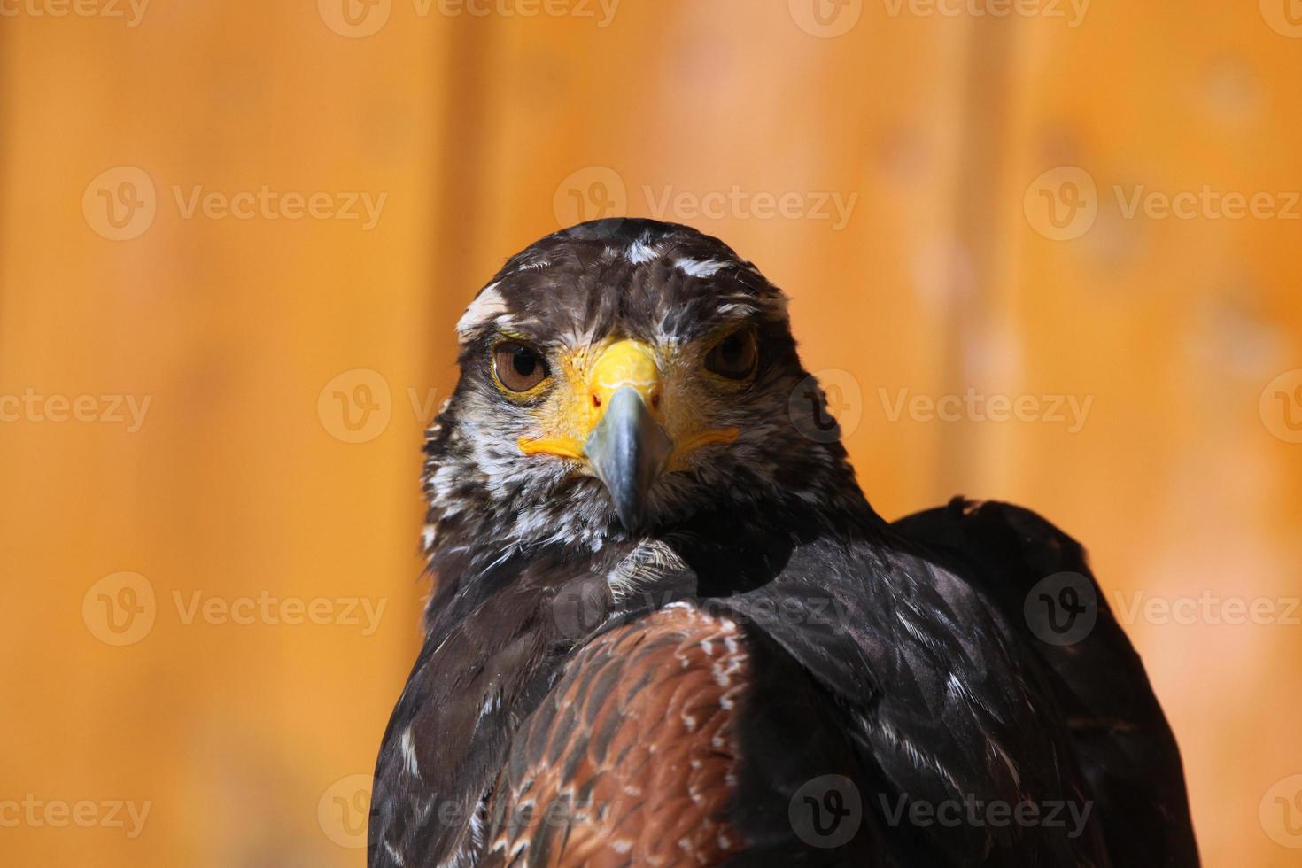 halcón de harris (parabuteo unicinctus). foto