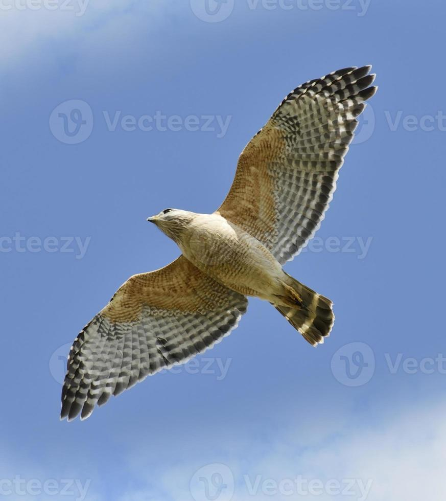 Red-shouldered Hawk photo
