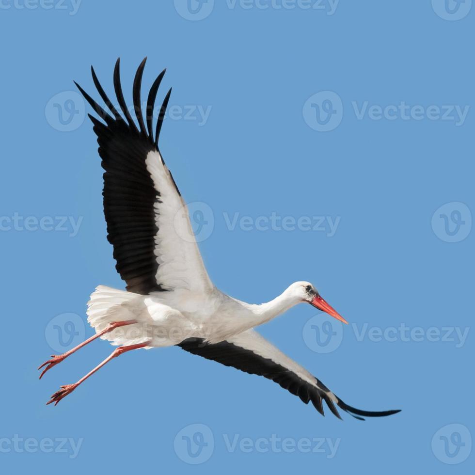 Flying white stork photo