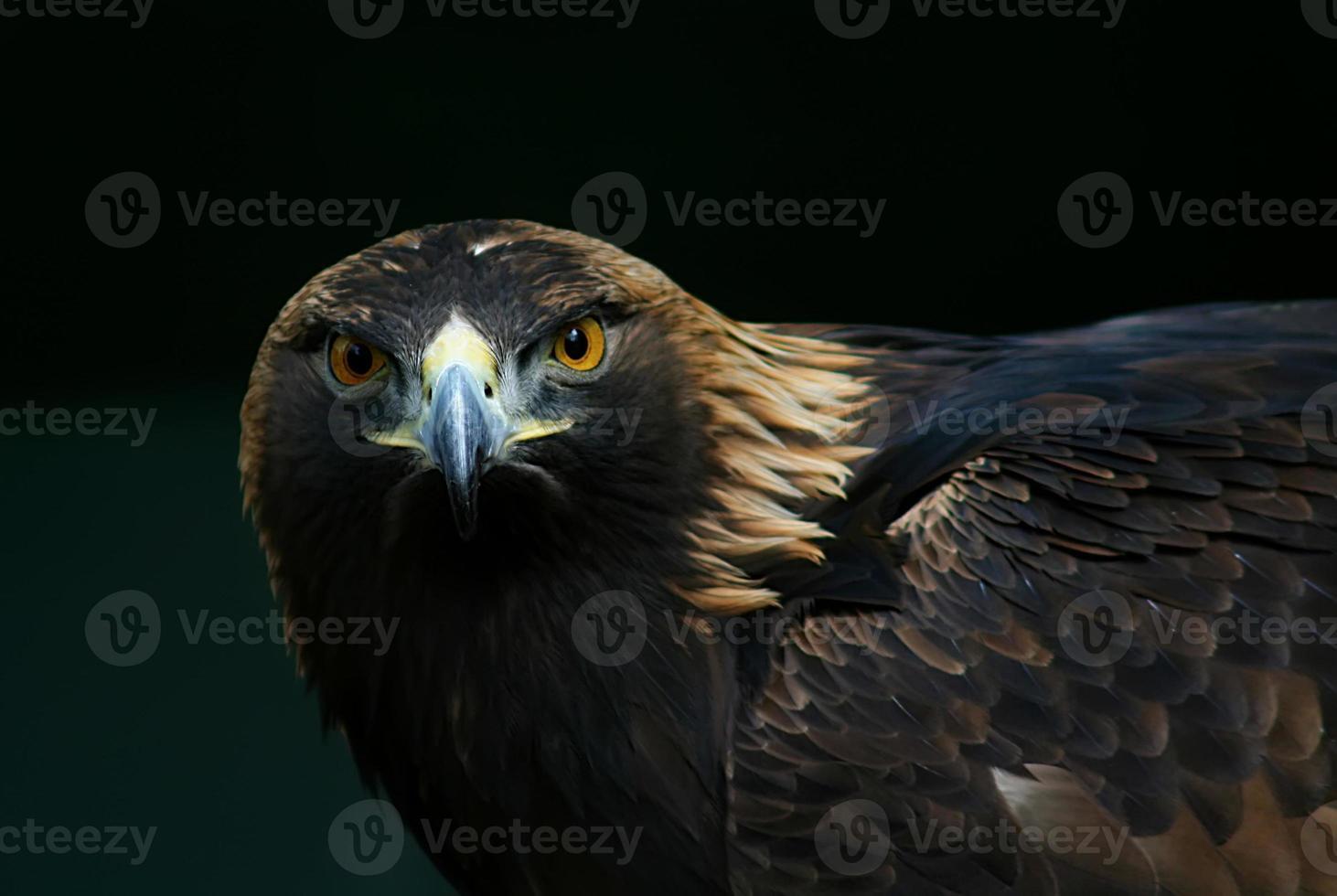 águila foto