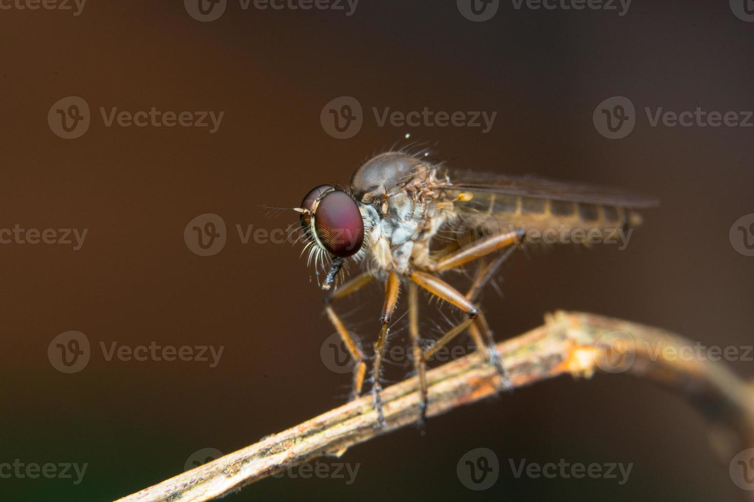 Asilidae robber fly photo