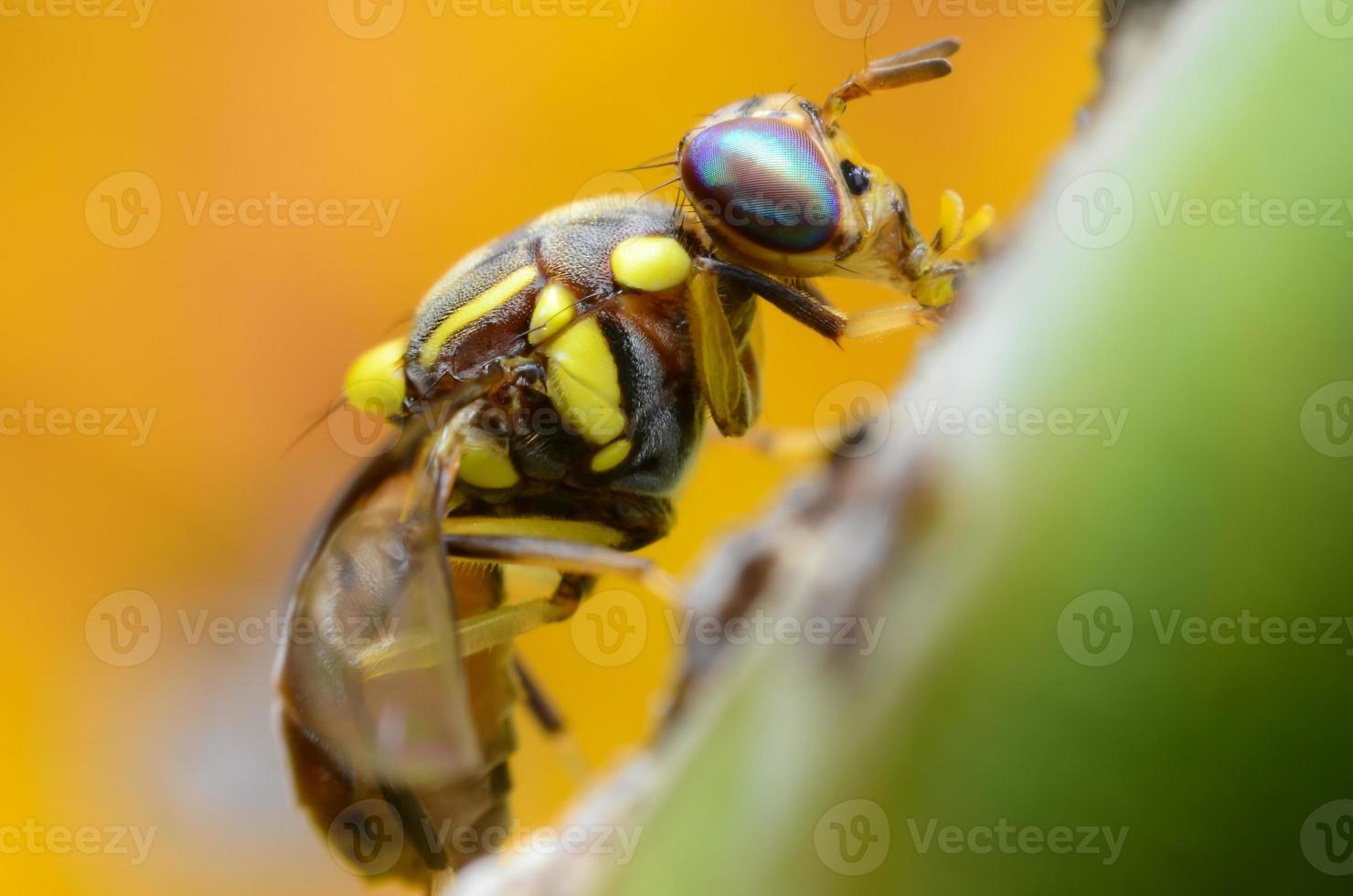 mosca oriental de la fruta foto