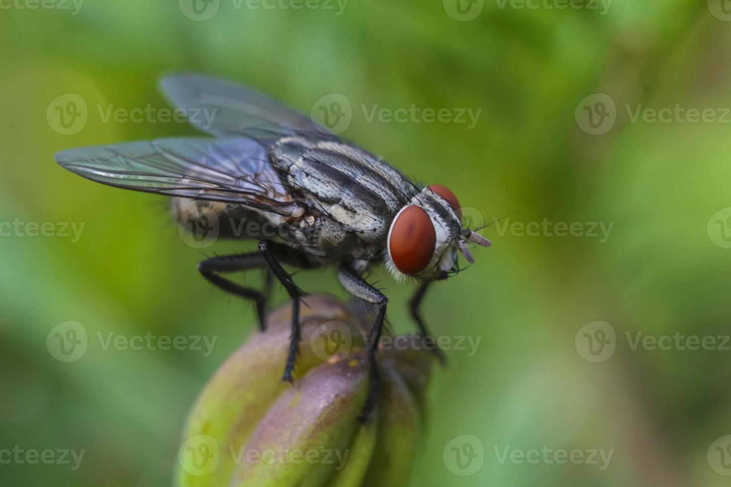 la mosca doméstica común (musca domestica) foto
