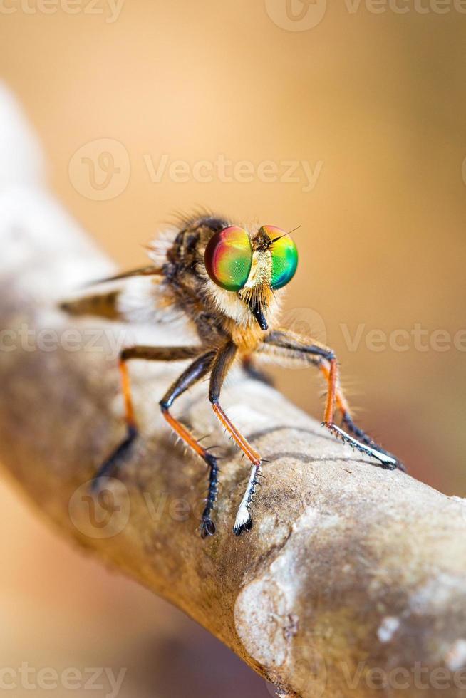 Robber fly Madagascar photo