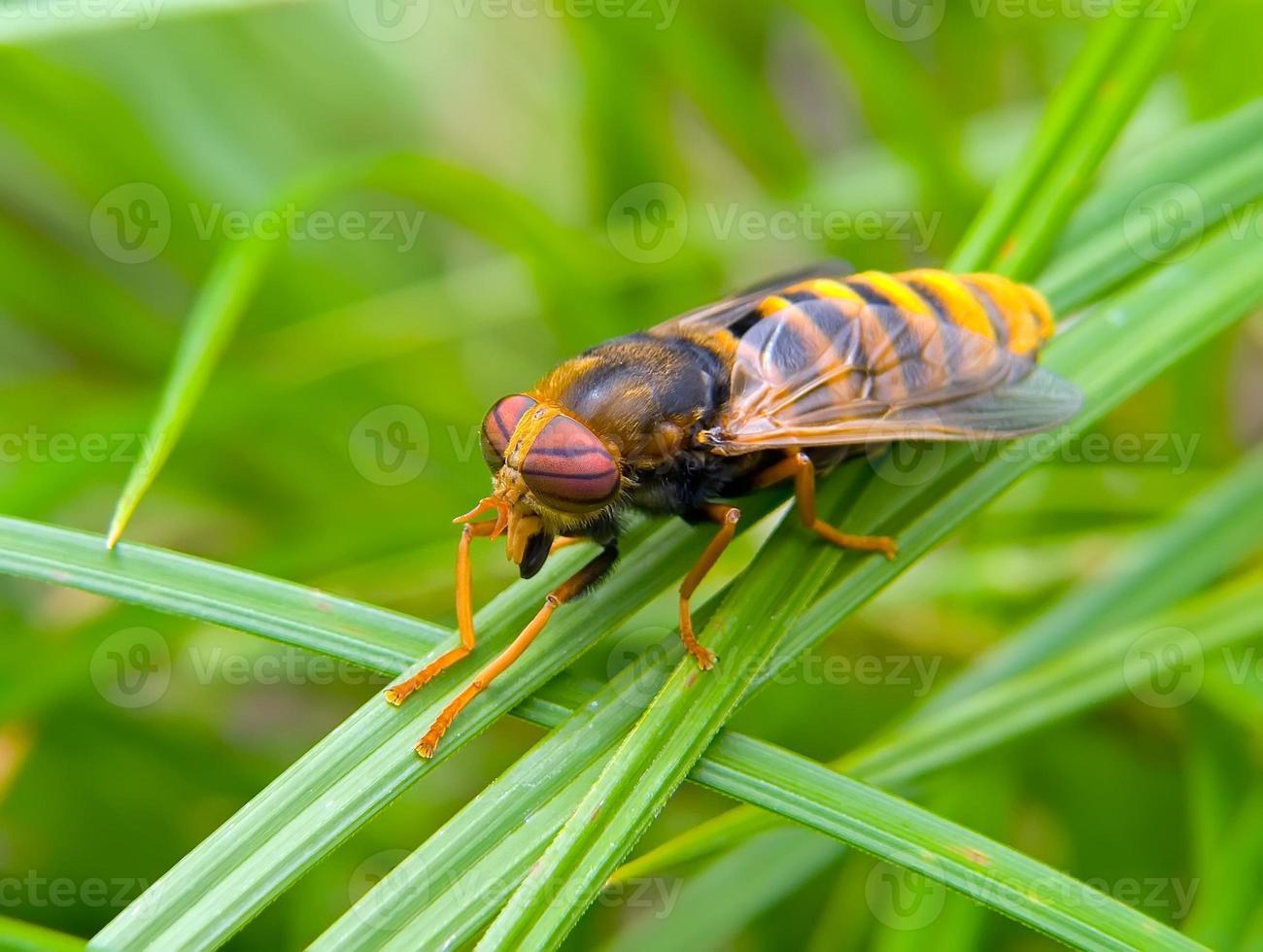 Fly Tabanus 3 photo