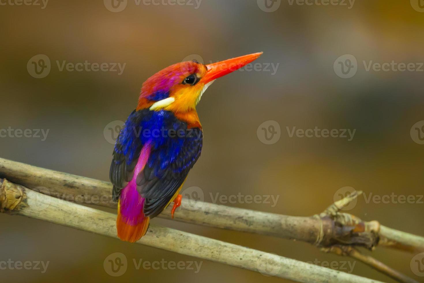 Backside of Black-backed Kingfisher photo