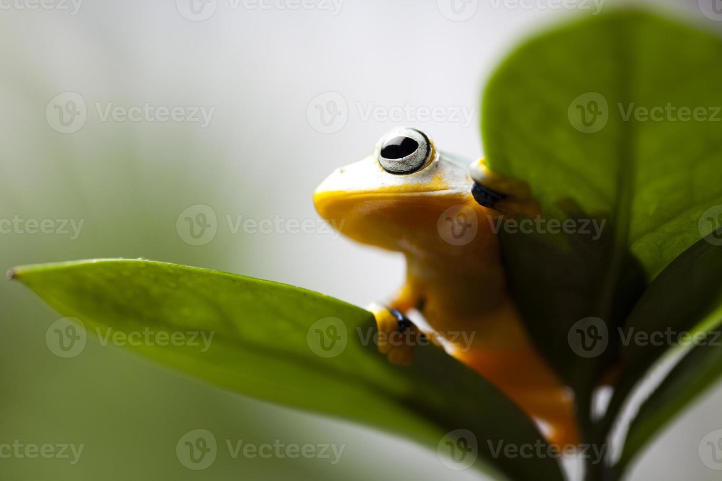 rana voladora en la selva foto