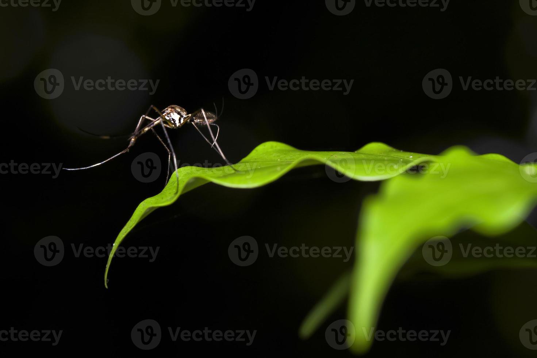 mosquitos foto