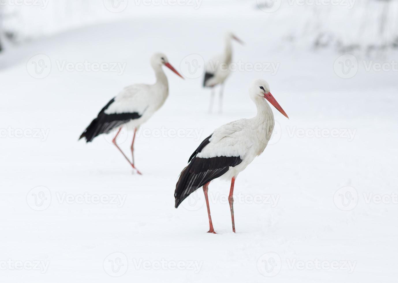 Storks in snow photo