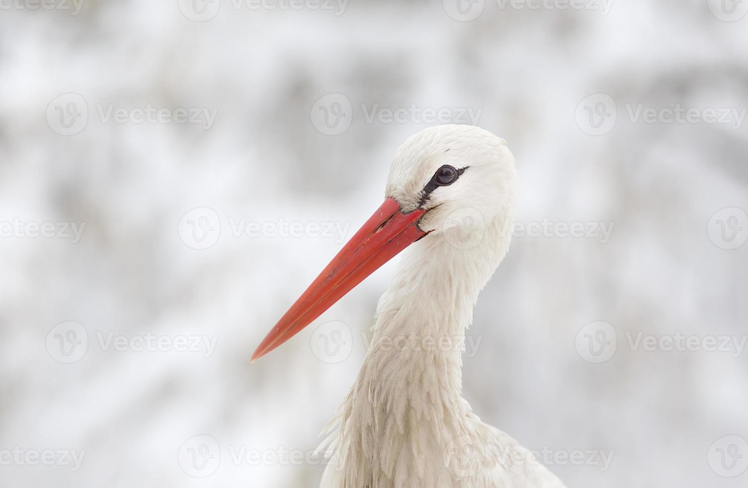 White stork head photo
