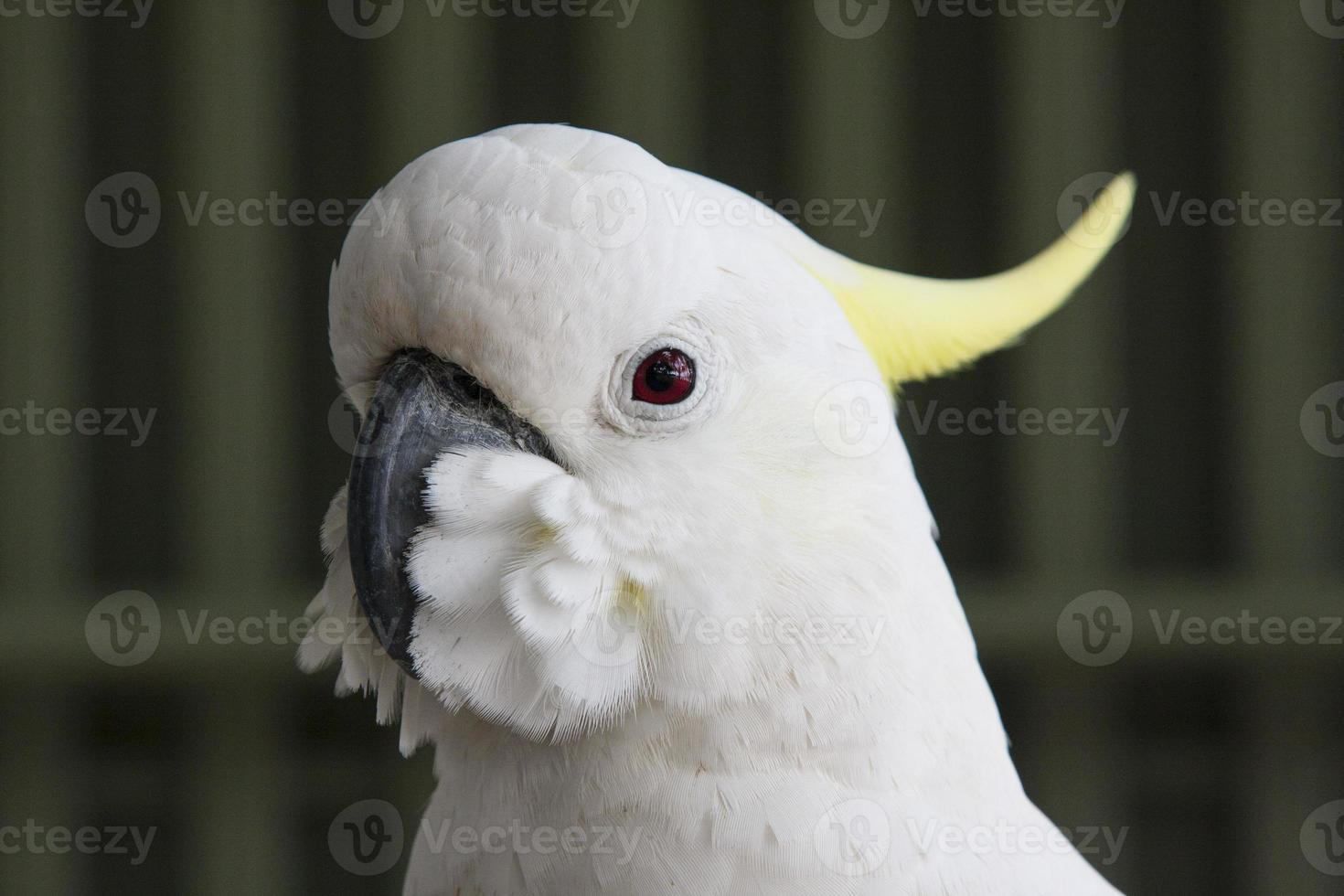 Cockatoo KAKATUA photo