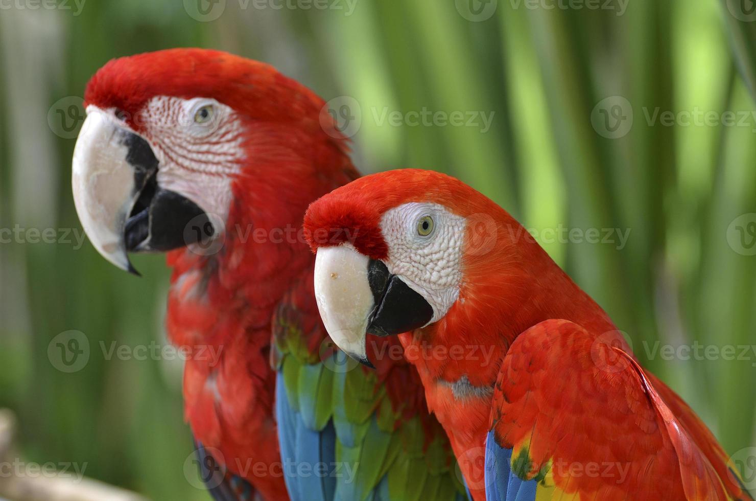 par de arara escarlate, papagaios foto
