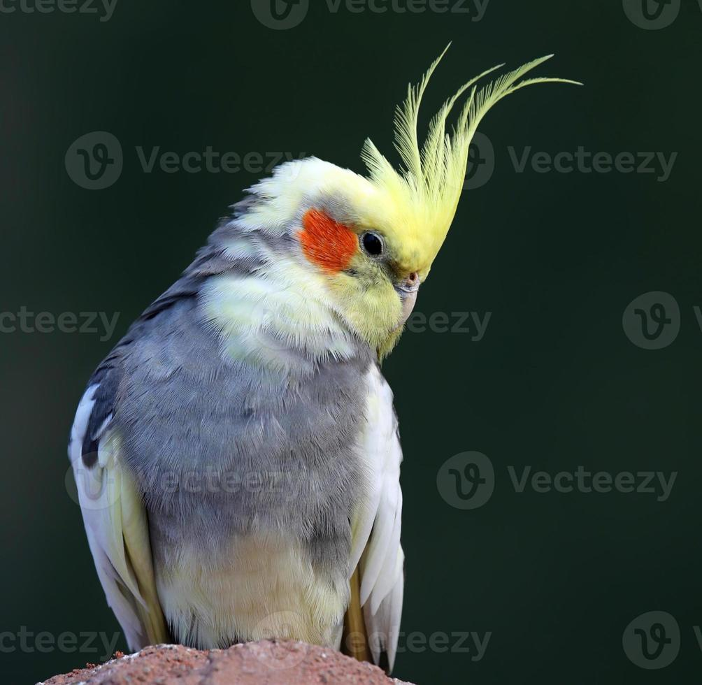 Close-up view of a Cockatiel photo