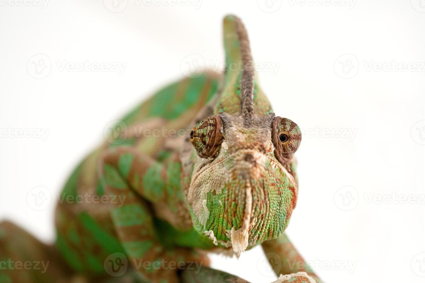camaleón en rama foto