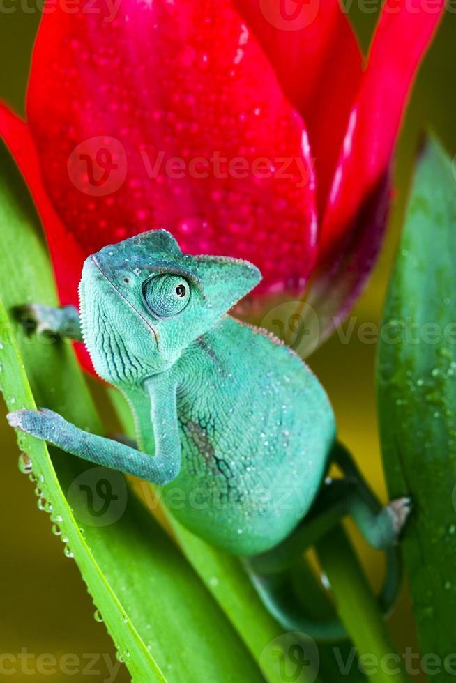 camaleón en el tulipán foto