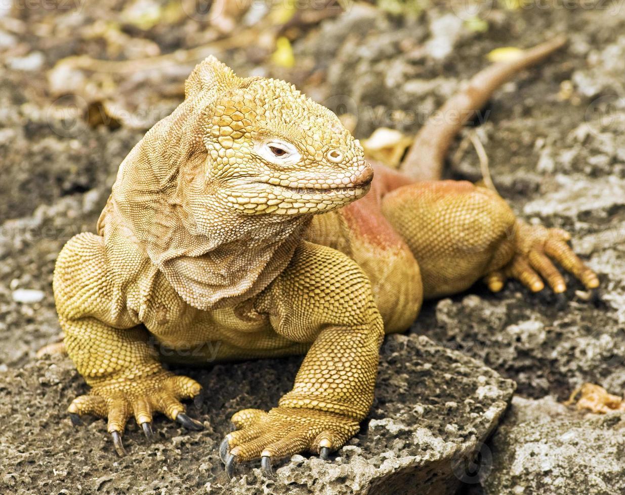 Galapagos Land Iguana (Conolophus Subcristatus) photo