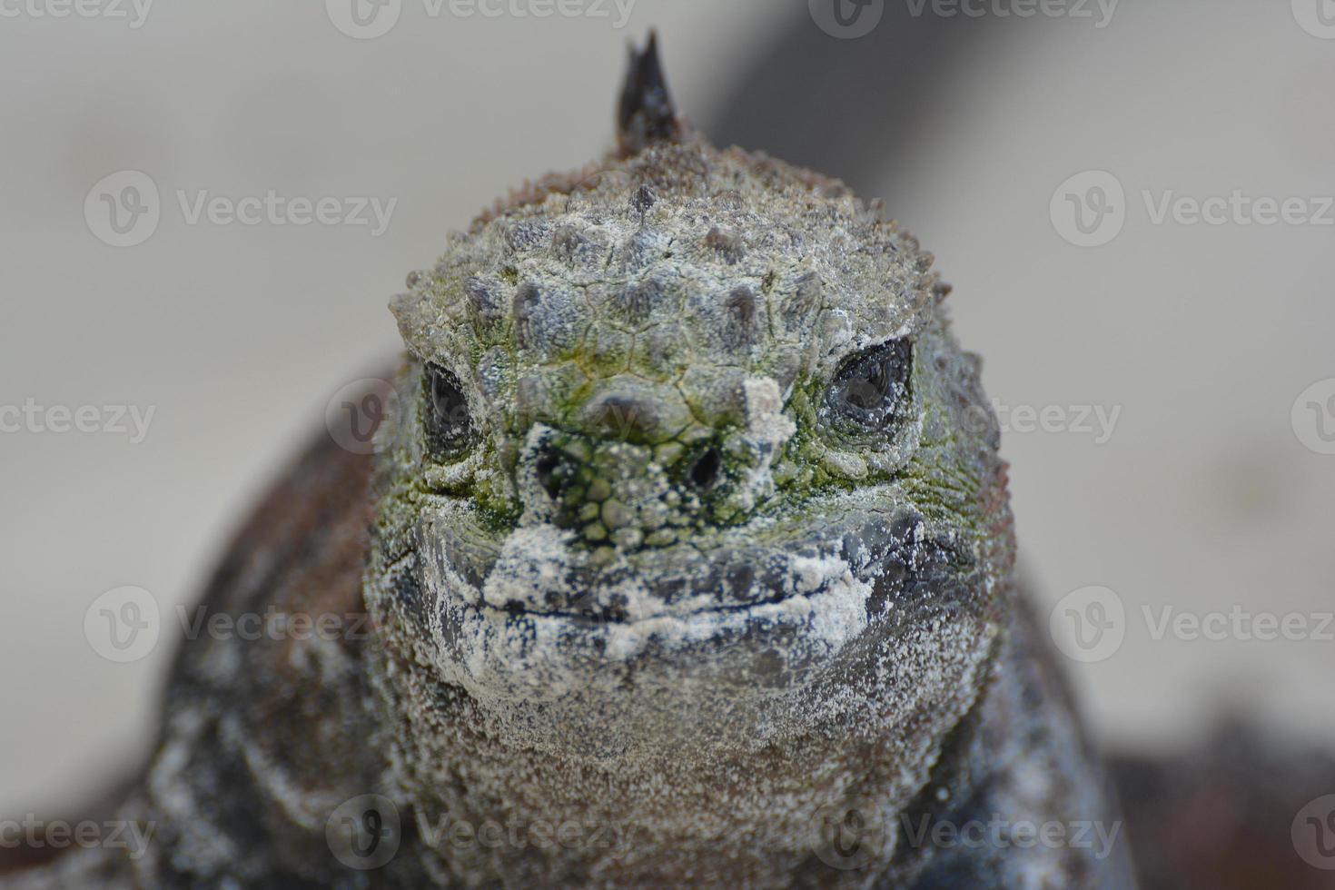 iguana marina de cerca foto