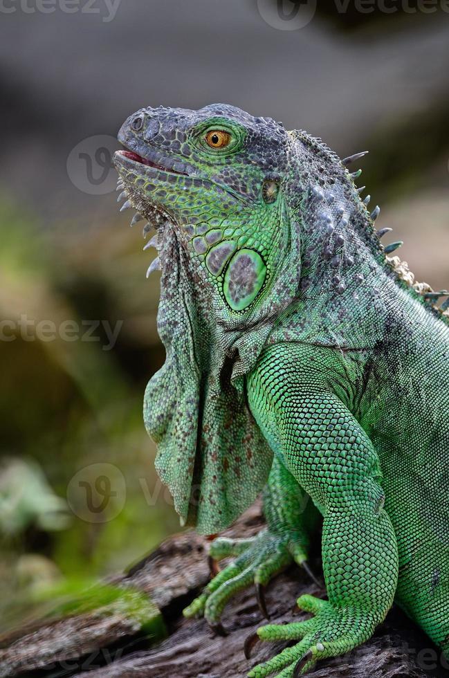female Green Iguana photo
