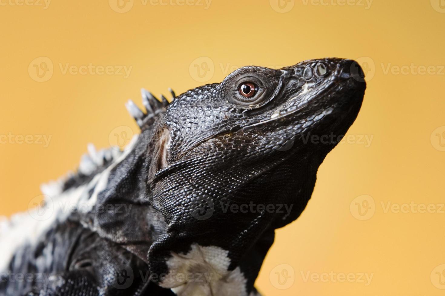 Iguana de cola espinosa foto