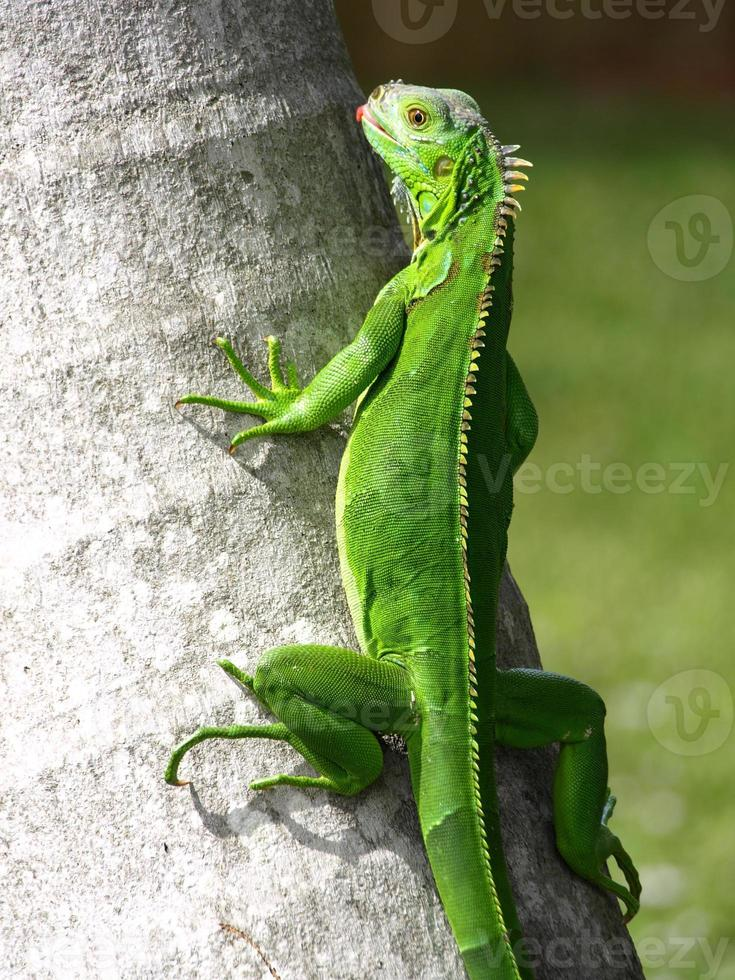 Iguana be in Pictures photo