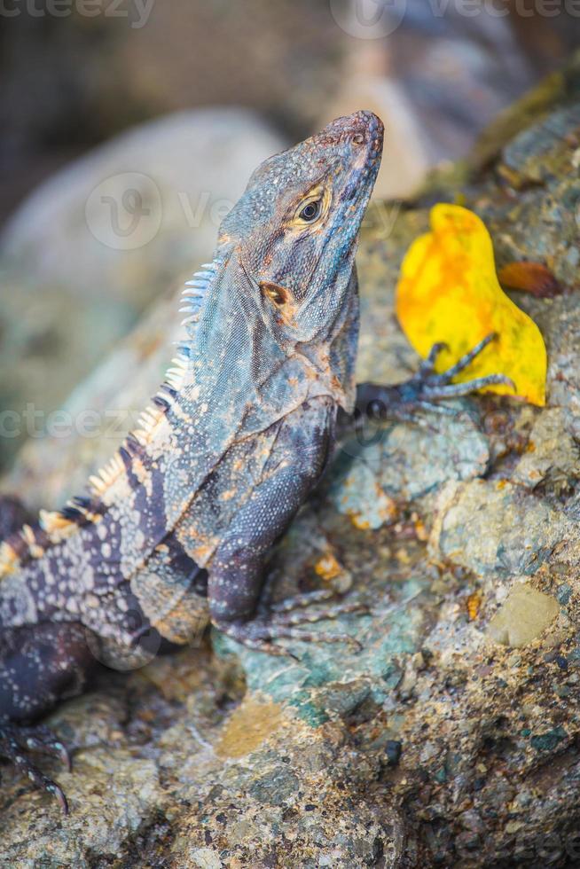 Iguana sosteniendo una hoja amarilla foto