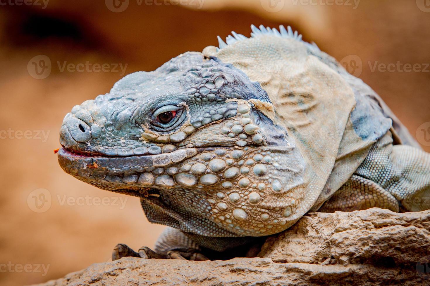 Iguana en una roca foto